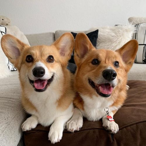 pembroke welsh corgi dogs