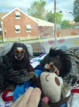Pensillita Marmoset Animals for sale in Lake Trail Dr, Kenner, LA 70065, USA. price -USD