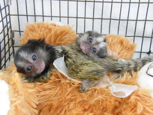 Pensillita Marmoset Animals for sale in Detroit, MI, USA. price -USD
