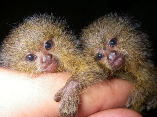 Pensillita Marmoset Animals for sale in Dallas, TX, USA. price -USD