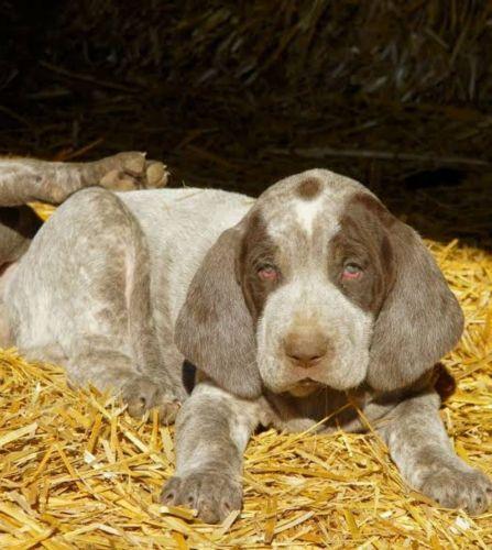 perdiguero de burgos puppy