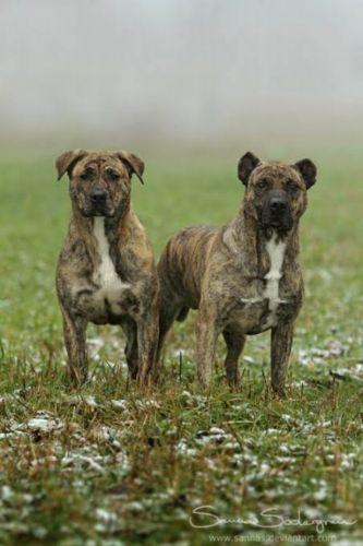 perro cimarron dogs