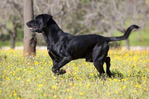 perro de pastor mallorquin