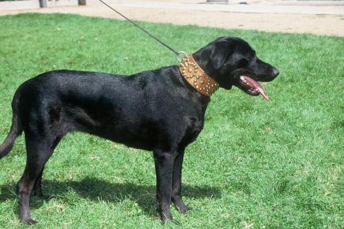 perro de pastor mallorquin dog