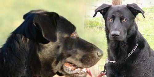 perro de pastor mallorquin dogs