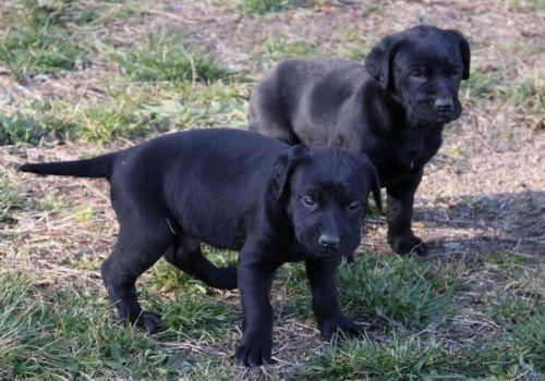 perro de pastor mallorquin puppies