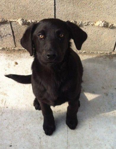 perro de pastor mallorquin puppy
