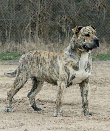 perro de presa mallorquin