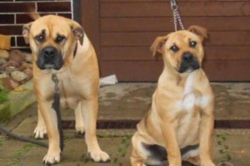 perro de presa mallorquin dogs