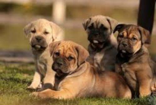 perro de presa mallorquin puppies