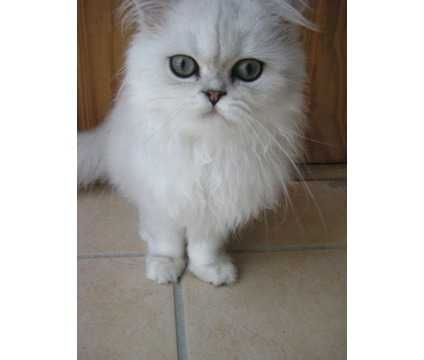 Persian Cats for sale in Annapolis, MD, USA. price 450USD