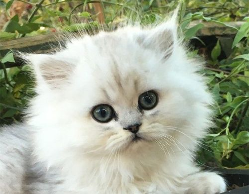 Persian Cats for sale in Annapolis, MD, USA. price 350USD