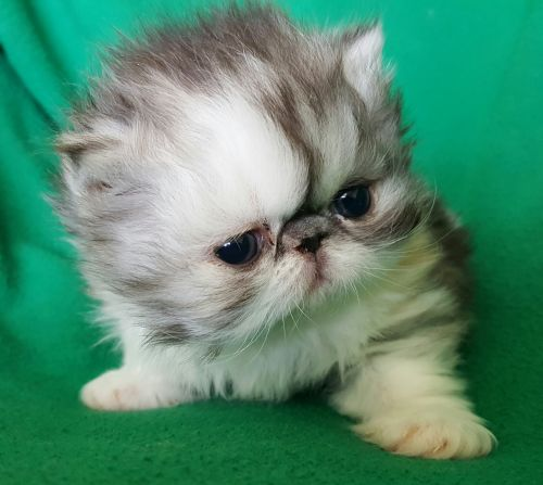 Persian Cats for sale in Ontario, CA 91761, USA. price 1200USD