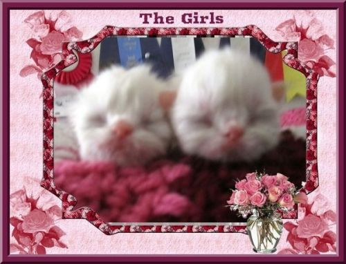 Persian Cats for sale in Riverside, CA, USA. price -USD