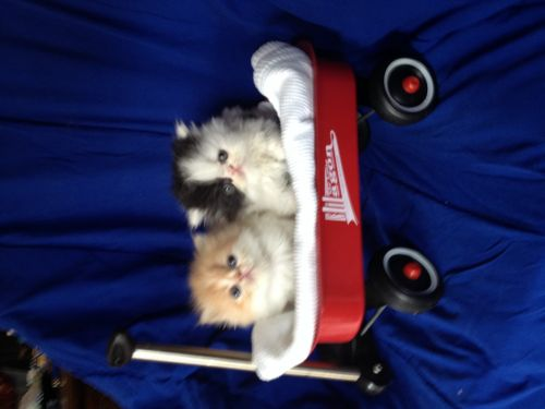 Persian Cats for sale in Coatesville, IN 46121, USA. price 700USD
