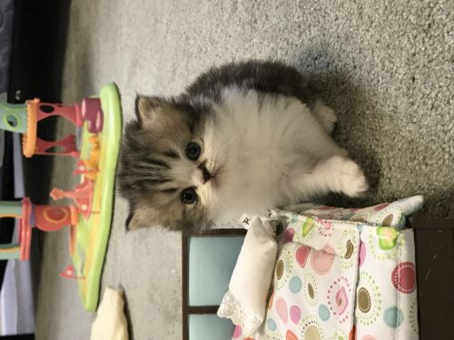 Persian Cats for sale in Buford, GA, USA. price 850USD