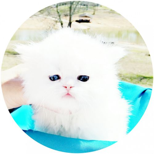 Persian Cats for sale in Morristown, TN, USA. price 1850USD