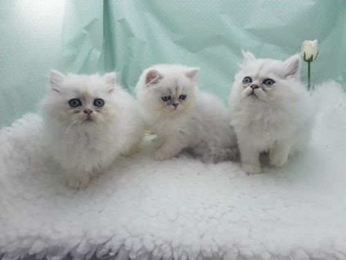 Persian Cats for sale in Springfield, IL, USA. price 400USD