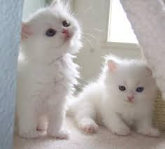 Persian Cats for sale in Orange County, CA, USA. price 400USD