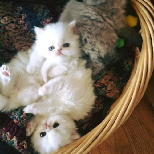 Persian Cats for sale in Wichita, KS, USA. price 800USD