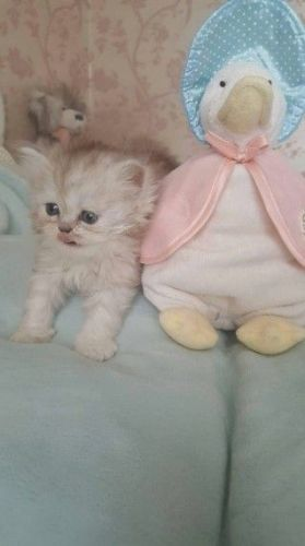 Persian Cats for sale in Los Angeles, CA 90001, USA. price 500USD