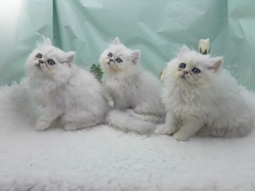 Persian Cats for sale in NJ-17, Paramus, NJ 07652, USA. price 300USD