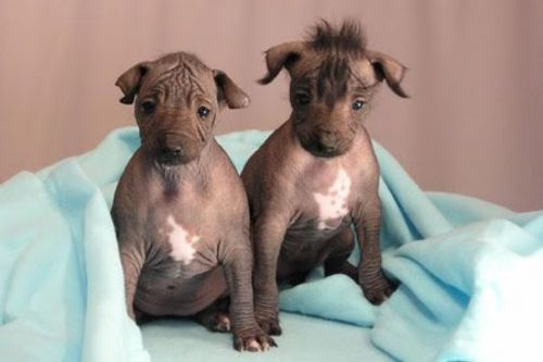 peruvian hairless puppies