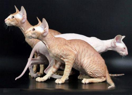 peterbald cats