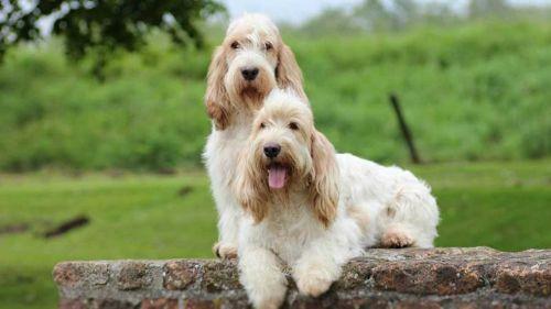 petit basset griffon vendeen dogs