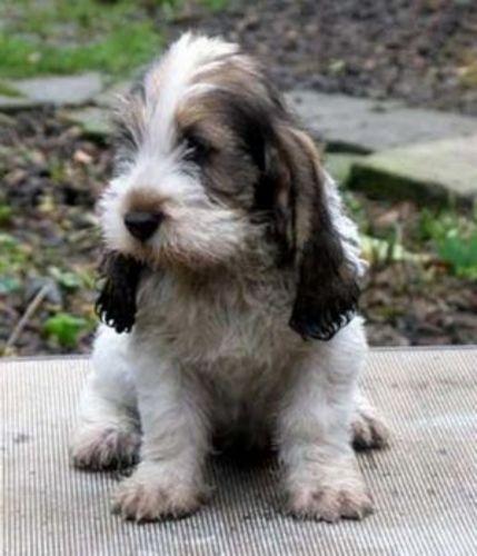 petit basset griffon vendeen puppy