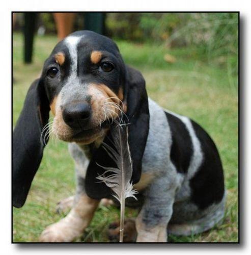 petit bleu de gascogne puppy