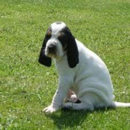 petit gascon saintongeois puppy