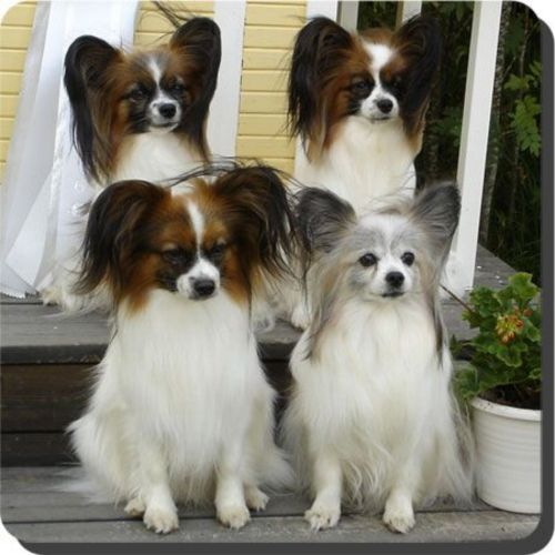 phalene dogs