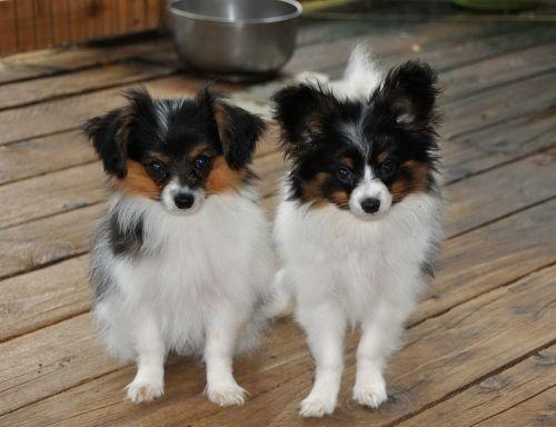 phalene puppies