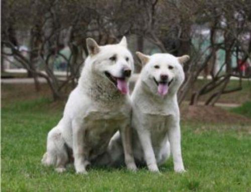 phung san dogs