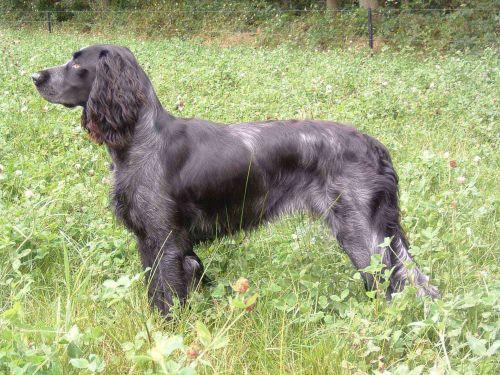 picardy spaniel dog