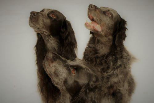 picardy spaniel dogs
