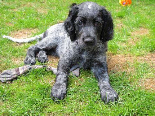 picardy spaniel puppy