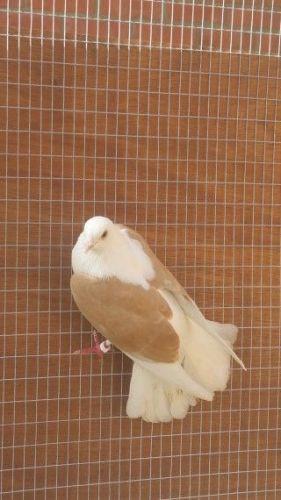 Pigeon Birds for sale in Philadelphia, PA, USA. price 20USD