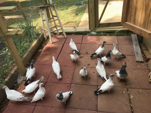 Pigeon Birds for sale in Kennesaw, GA, USA. price 50USD