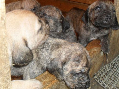 plott hound puppies