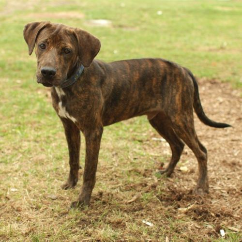 plott hound puppy