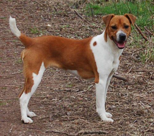 plummer terrier dog
