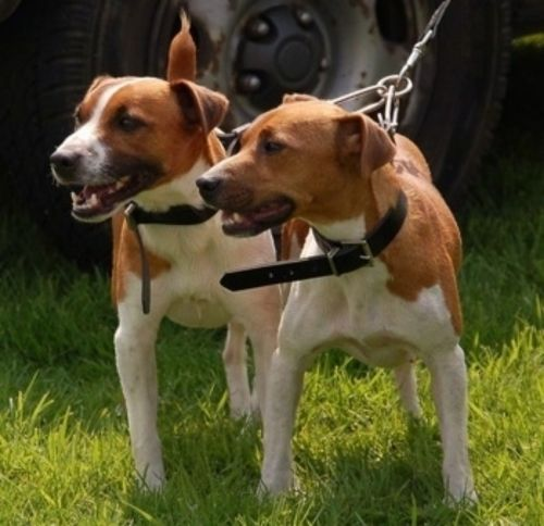 plummer terrier dogs