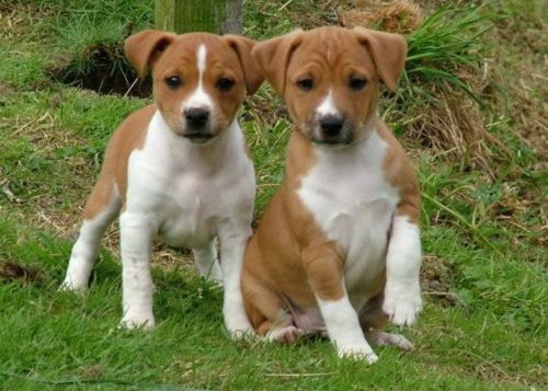 plummer terrier puppies