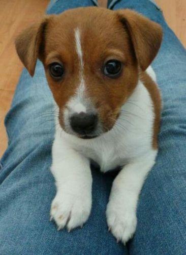 plummer terrier puppy
