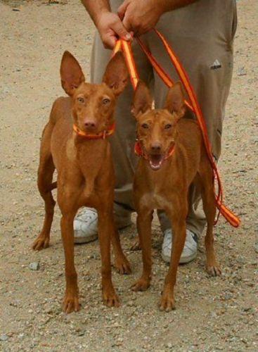 podenco andaluz dogs