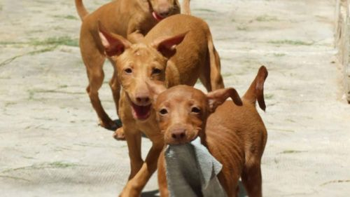 podenco andaluz puppies