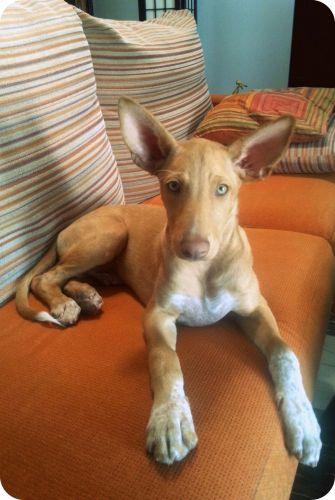 podenco andaluz puppy