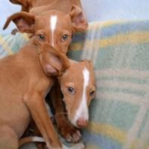 podenco canario puppies